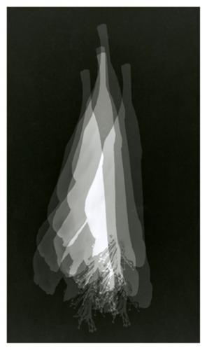 Φωτόγραμμα Ιβίσκος / Photogram Hibiscus