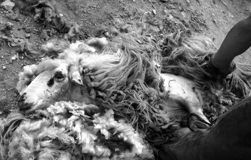 Παρασκευάς - Κουρεύοντας πρόβατα -  Πάρος / Paraskevas Shearing - Paros