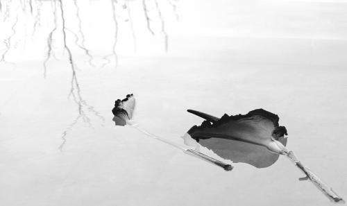 Κρίνος Βουντού - Πάρος / Voodoo Lily - Paros